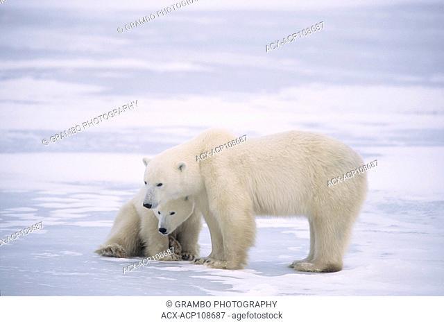 Polar bear and cub,Ursus maritimus, near Churchill, Manitoba, Canada