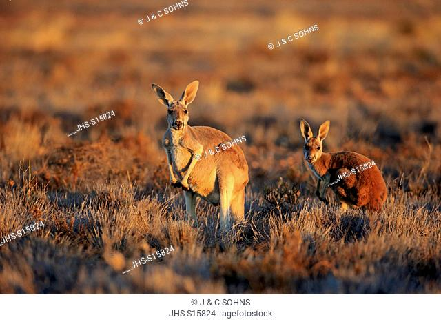 Red Kangaroo, (Macropus rufus), mother with young at sunset, Sturt Nationalpark, New South Wales, Australia