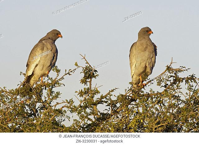 Pale chanting goshawks (Melierax canorus), two adults, on the top of a tree, looking for prey, evening light, Addo Elephant National Park, Eastern Cape