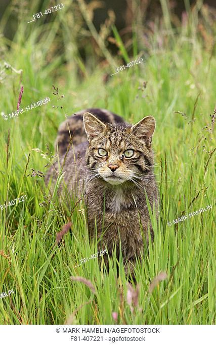 Scottish Wildcat (Felis sylvestris) stalking through grass meadow in summer. Scotland