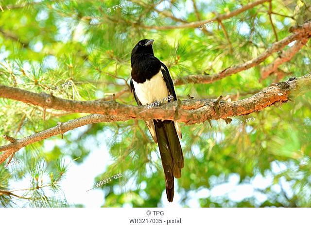 Korean magpie;Seoul