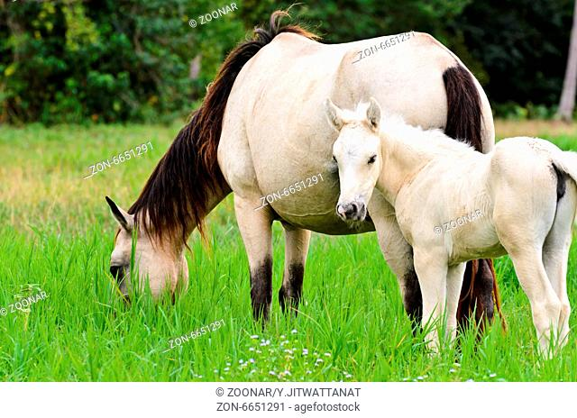 White horse mare and foal in a grass