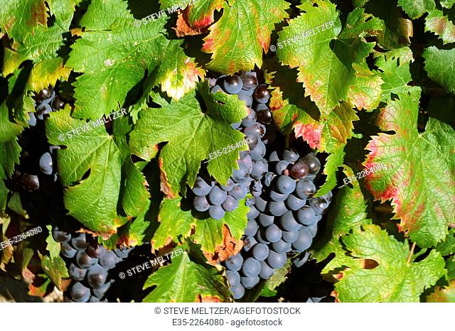 Cinsault grapes ready to harvest