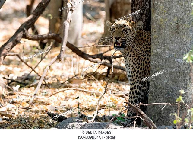 Portrait of Leopard (Panthera pardus), Okavango Delta, Botswana, Africa