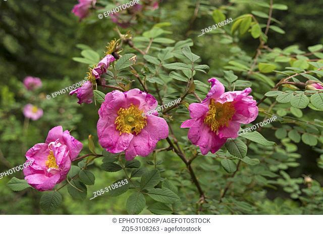 Wild roses Ban Gulab, Dand Kunja