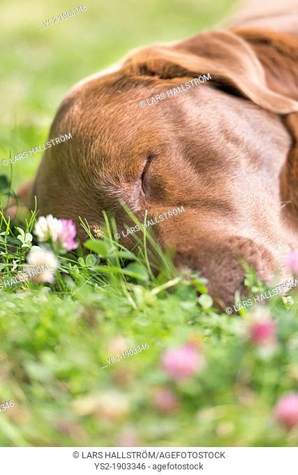 Brown labrador retriever lying down and sleeping on lawn
