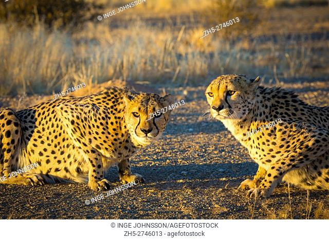 The cheetah (Acinonyx jubatus), also known as the hunting leopard, is a big cat that occurs mainly in eastern and southern Africa and a few parts of Iran
