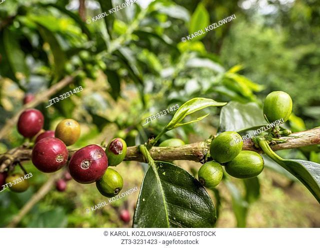 Coffea Cherries, Coffee Triangle, Salento, Quindio Department, Colombia