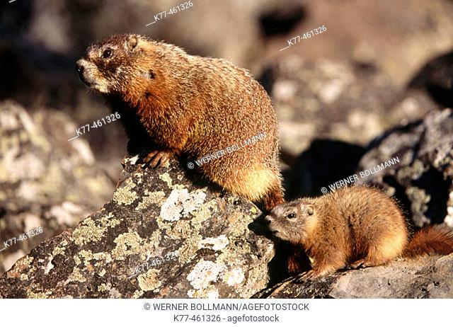 Yellow-bellied Marmots (Marmota flaviventris), female with young. Yellowstone N.P., Wyoming, USA