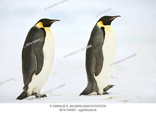 Emperor Penguin Aptenodytes forsteri at Snow Hill Island, Weddel Sea, Antarctica