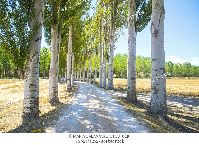 Path between poplar trees
