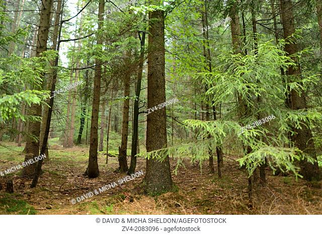 Landscape of Norway spruce (Picea abies) tree trunks in a mixed forest in autumn, Upper Palatinate, Bavaria, Germany