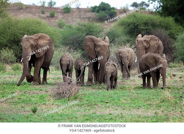 African Elephant Loxodonta africana  Vulnerable species   Mashatu Game Reserve  Tuli block, Botswana  November 2010