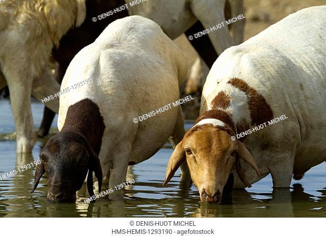 Kenya, lake Magadi, masai catlle