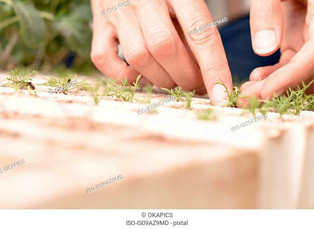 Woman tending to young plants in garden, close-up of hands