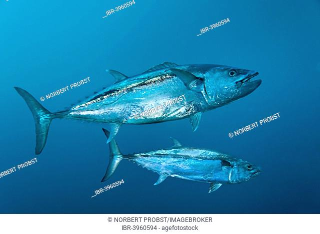 Dogtooth Tunas (Gymnosarda unicolor), Embudu Channel, Indian Ocean, Tilla or Tila, South Malé Atoll, Maldives