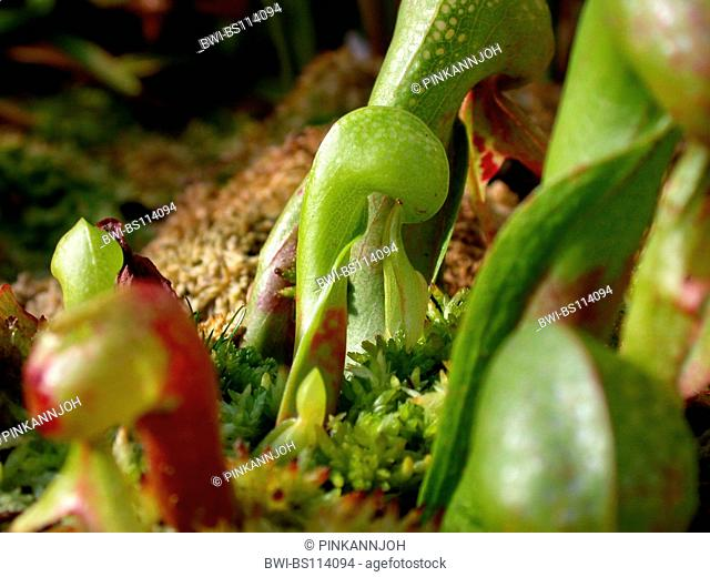 California pitcher plant, Cobra Lily Plant (Darlingtonia californica), traps