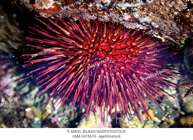 Purple sea urchin Paracentrotus lividus in a tidal pool
