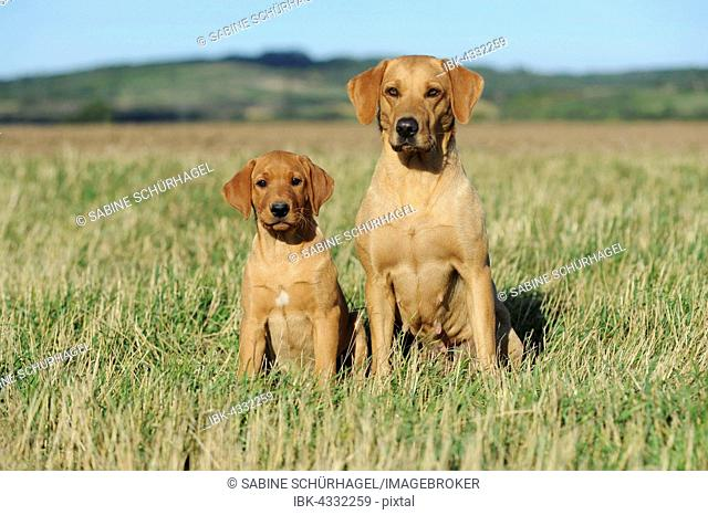 Labrador retriever, yellow, female dog with puppy