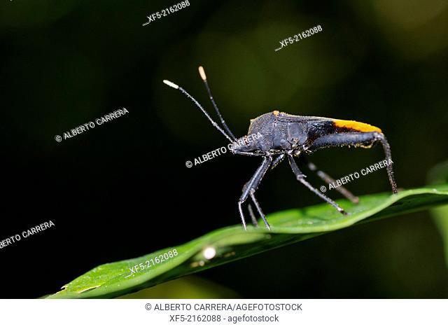Shield Bug, Chust Bug, Heteroptera, Hemiptera, Tropical Rainforest, Marino Ballena National Park, Uvita de Osa, Puntarenas, Costa Rica, Central America, America