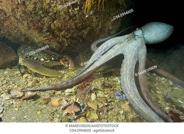 Octopus (Octopus vulgaris) attacking Common lobster (Homarus gammarus). Eastern Atlantic. Galicia. Spain. Europe