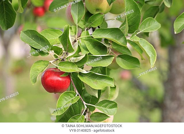 Red ripe apple growing on the apple tree branch with green foliage in early autumn