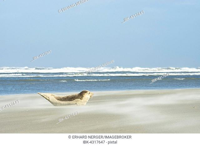 Seal (Phoca vitulina) lying in the sand on the beach, Langeoog, East Frisia, Lower Saxony, Germany