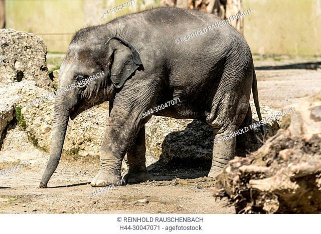 Asiatische Elefanten im Freigehege