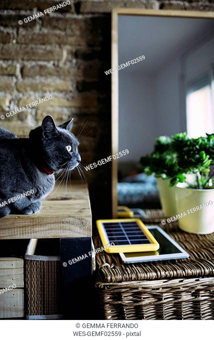 Russian blue cat next to a solar panel charger, tablet and plant
