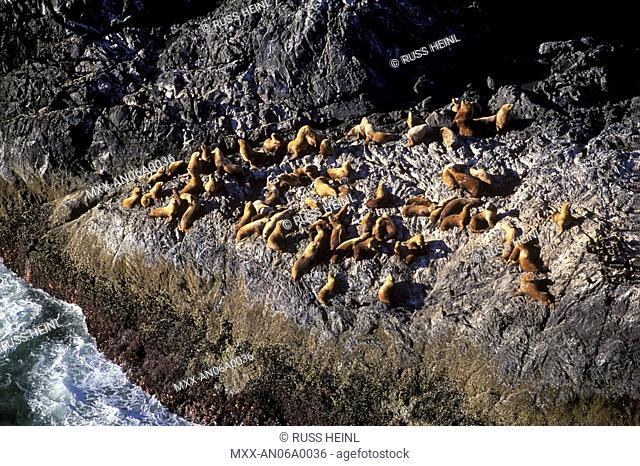 Sea Lions, Queen Charlotte Islands, British Columbia, Canada