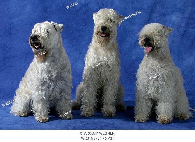 Irish, Soft, Coated, Wheaten, Terrier