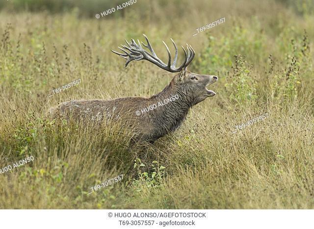 Male Red deer. Cervus elaphus. Alava. Spain