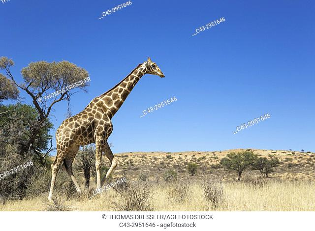 Southern Giraffe (Giraffa giraffa). Aged male. Kalahari Desert, Kgalagadi Transfrontier Park, South Africa