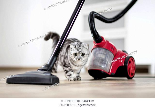 British Shorthair. Adult tabby cat approaching cautious a vacuum cleaner. Germany