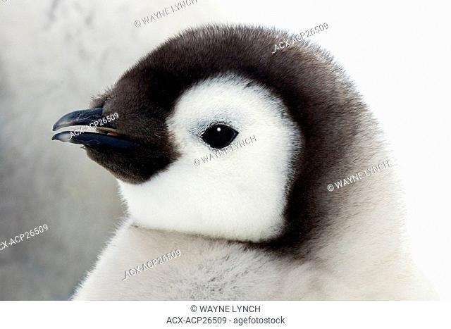Emperor penguin chick Aptenodytes forsteri, Snow Hill Island, Weddell Sea, Antarctica