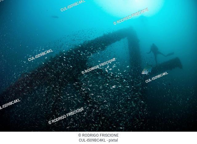 School of fish and scuba diver exploring sunken ship, Cancun, Mexico