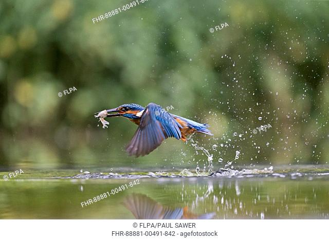 Common Kingfisher (Alcedo atthis) adult male, in flight, emerging from water with Common Rudd (Scardinius erythropthalamus) prey in beak, Suffolk, England, may