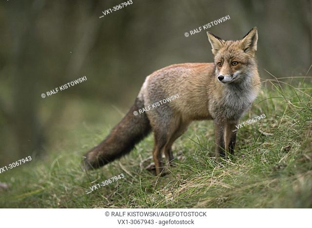 Red Fox ( Vulpes vulpes ) stands on a small grass covered hill, next to the edge of a forest, looks back, wildlife, Europe