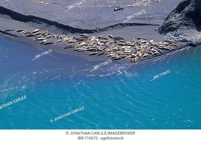 Sea Lions (Zalophus californianus) aereal photo, Pacific Ocean Coast, California, USA