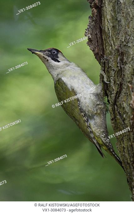 Green Woodpecker ( Picus viridis ), perched on a tree trunk, turning back its head, in typical in pose, Europe