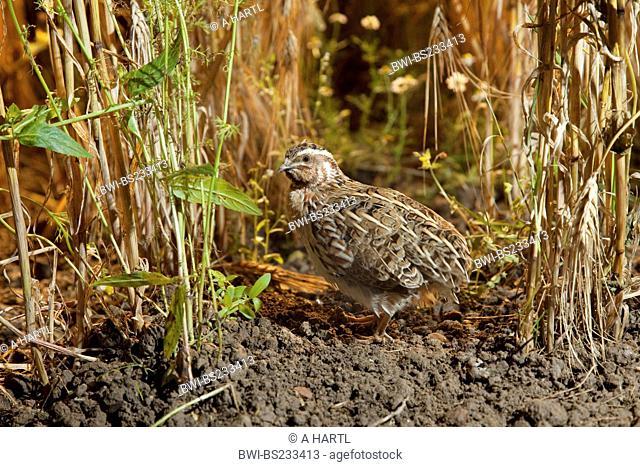 common quail Coturnix coturnix, in a cornfield, Germany, Bavaria