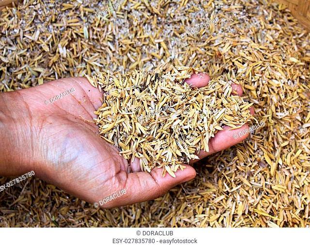 Human hands holding rice husk