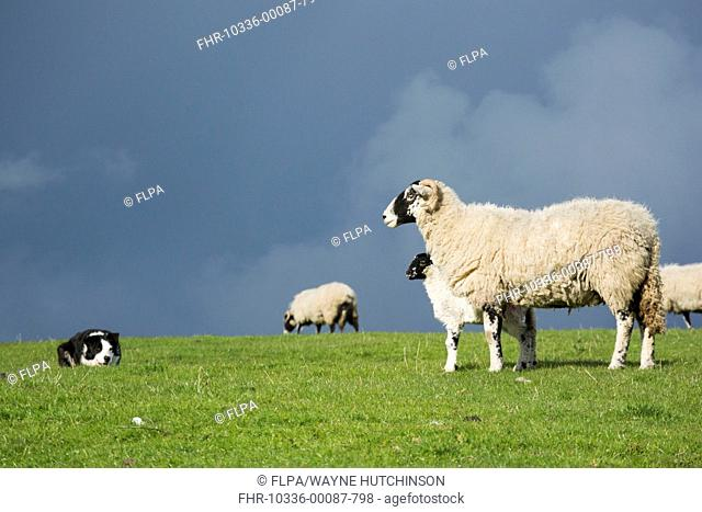 Domestic Dog, Border Collie, working sheepdog, adult, working Swaledale ewe and lamb in pasture, Cumbria, England, May