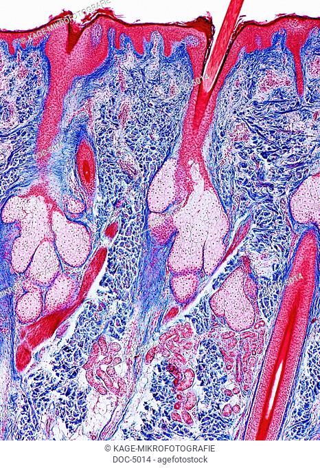 Skin of the head: Sweat glands Glandula sudorifera, sectional view, 60x HF LUMENS Photo-Technical Short Cuts: LUMEN = optical microscope