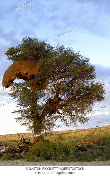 Huge communal nest of Sociable Weavers (Philetairus socius) in a camelthorn tree (Acacia erioloba). Kalahari Desert, Kgalagadi Transfrontier Park, South Africa