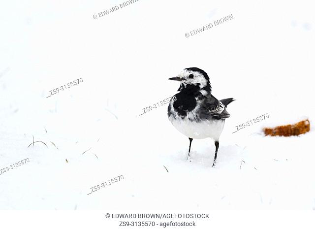A Pied wagtail (Motacilla alba) after fresh snow fall , East Sussex, UK