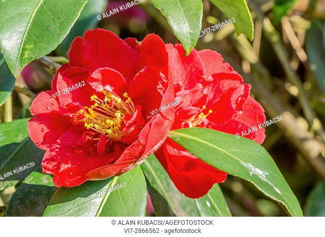 Camellia japonica 'Général Leclerc' 1920