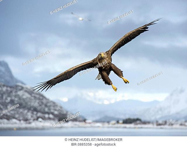 White-tailed Eagle or Sea Eagle (Haliaeetus albicilla), in flight, Norway
