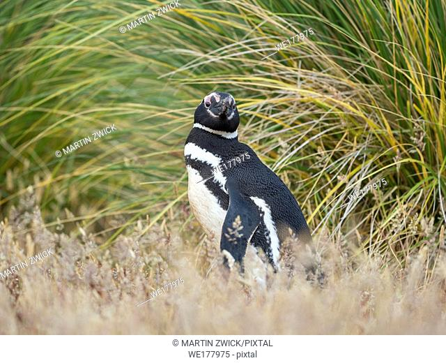 Magellanic Penguin (Spheniscus magellanicus). Breeding area in the tussock belt, the natural vegetation on subantarctic islands South America, Falkland Islands