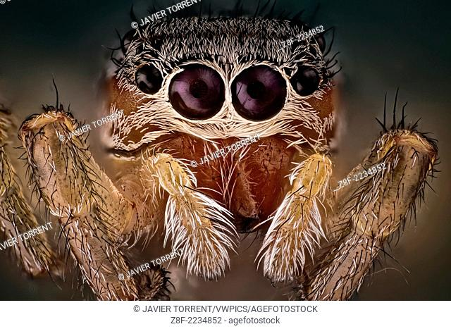 A beautiful and yet small jumping spider; They have good vision and use it for hunting and navigating. They are capable of jumping from place to place